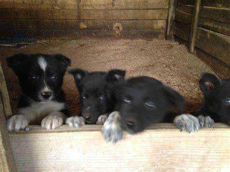 mcnab puppies for sale mcnab australian shepard stock dogs
