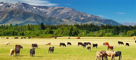 new zealand job dairy farming in new zealand job option for backpackers