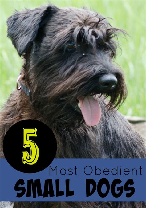 most obedient dogs 5 most obedient small dogs dogvills