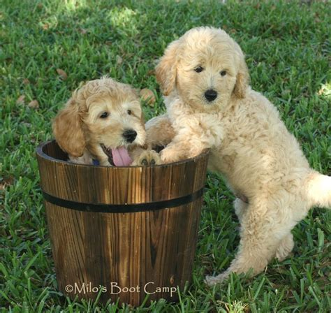 goldendoodle puppy images golden doodles friends