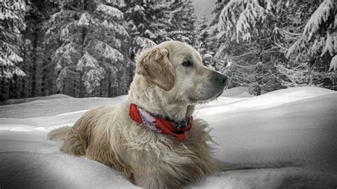 golden retriever in the snow golden retriever in the snow wallpaper animal wallpapers 17499