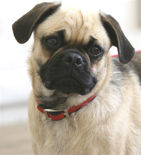 new pug breed pugs are anatomical disasters vets must speak out even if it s bad for business