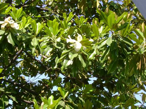top 28 magnolia tree types evergreen magnolia trees types of evergreen magnolia trees