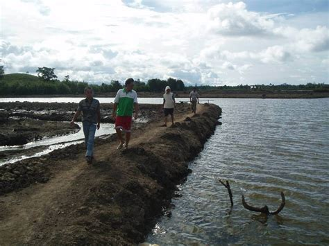 Pakan Udang Windu tutorial budidaya ikan bandeng dan udang windu organik