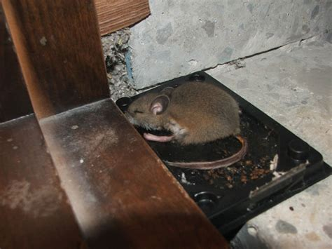 Dead Animal In My Wall Smell - smell dead rat in wall trapper tails