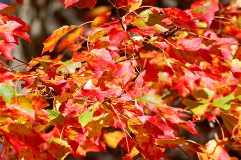 color trees best maple trees for fall color