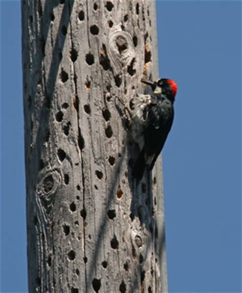 the daily apple apple 477 woodpeckers