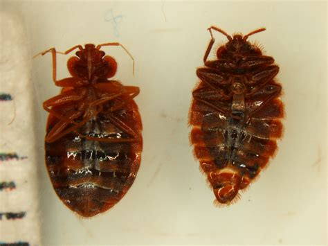 bed bug vs mosquito a tale of two bad bugs bed bug vs bat bug south dakota bugs