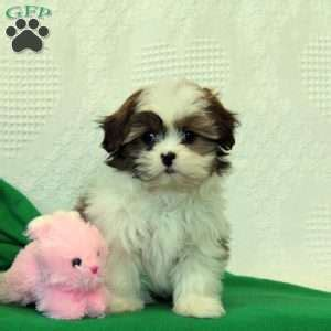 shih tzu lancaster pa shih tzu puppies for sale in de md ny nj philly dc and baltimore