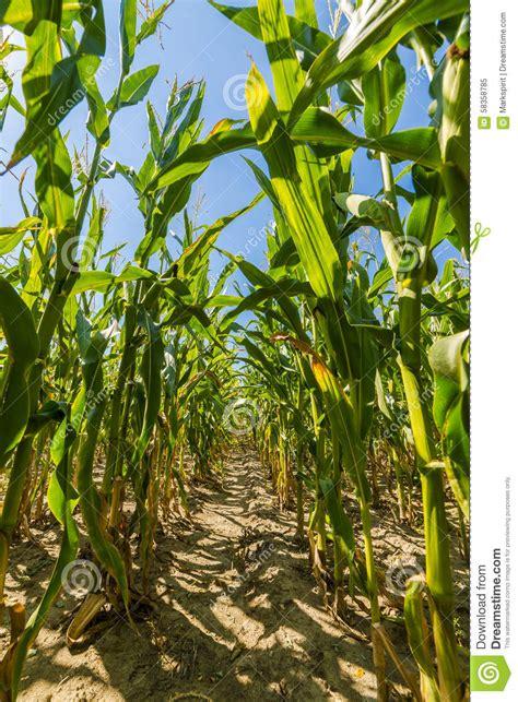 S Corn Growing Up Set green corn field growing up on blue sky stock image cartoondealer 76734955