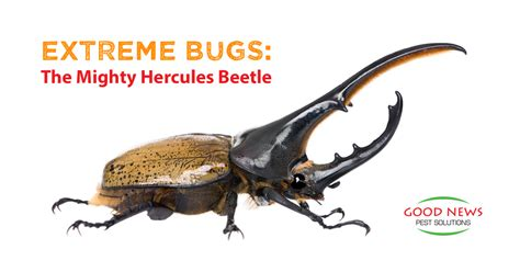 what s good for bed bugs extreme bugs the mighty hercules beetle good news pest solutions green pest