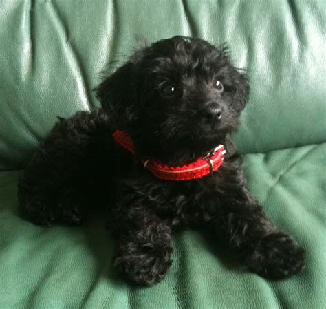 Soothing Color Jackapoo Info Puppies Personality Picture