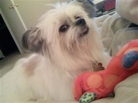 Do Lhasa Apso Shed by Kimola Breed Information And Pictures