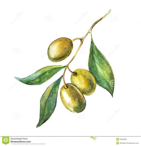 olive art hand drawn olive branch stock photos 152 hand drawn