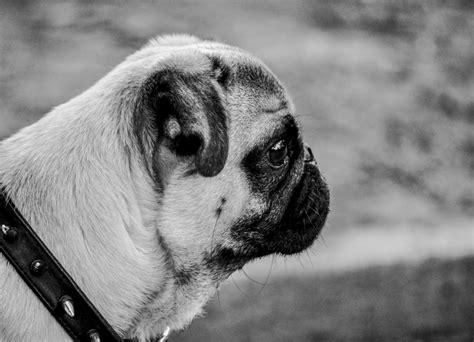 imagenes para perfil blanco y negro imagen de pug carlino perfil foto gratis