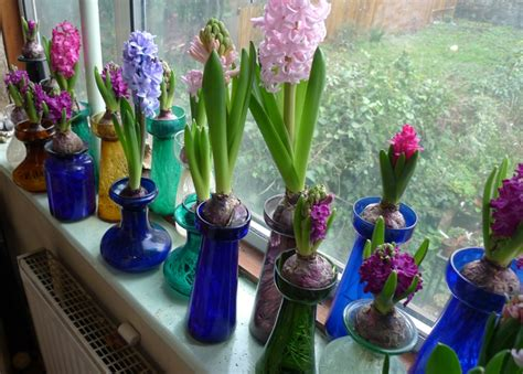 Forcing Hyacinth Bulbs In Vases Image Gallery Hyacinth Bulbs Indoors Water