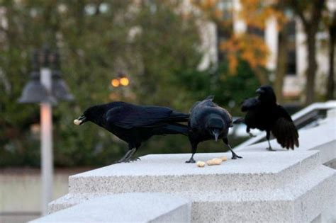 Gagak Pintar Nabi Adam As gak nyangka ini alasan burung gagak terpilih mengajari
