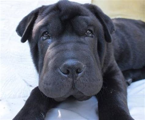 shar pei lab mix puppies puppies puppy names pictures of puppies more daily puppy