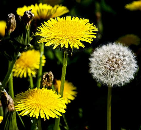 Plant Food That Comes With Flowers by Dandelion Greens The Perfect Spring Survival Food