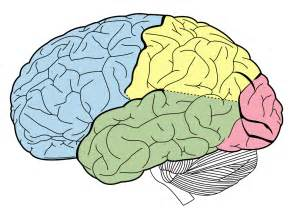 Brain Outline Lobes by Structure And Function Of The Brain Boundless Psychology