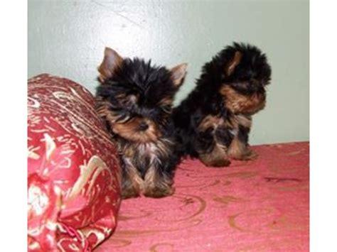 teacup yorkie potty potty teacup yorkies puppies animals barnes city iowa announcement 33346