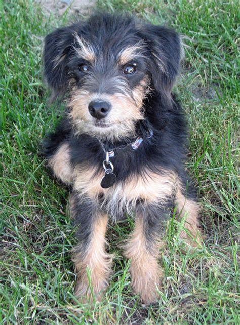 terrier mix puppies puppies puppy names pictures of puppies more daily puppy