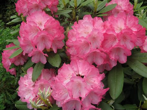 state flower of beautiful washington state rhododendron the official
