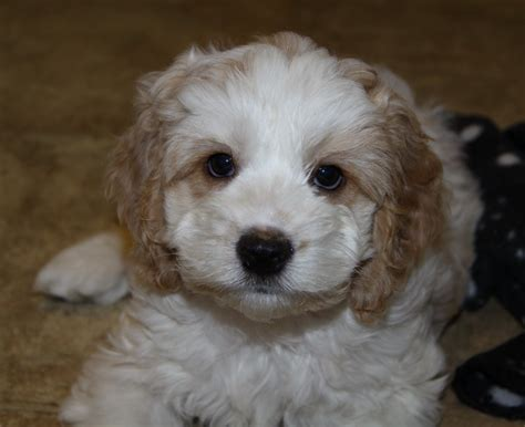 cockapoo puppies indiana cockapoo puppies pups for sale puppies for sale in ontario canada curious puppies