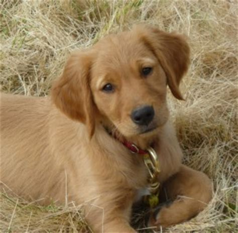 golden retriever and chocolate lab chocolate yellow black golden retriever puppies oregon