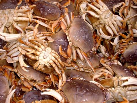 Whats In Season Dungeness Crabs by Coastal Commercial Dungeness Crab Fishery Washington