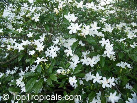 Giant Tropical Plants - tabernaemontana divaricata ervatamia divaricata ervatamia coronaria pinwheel jasmine crape