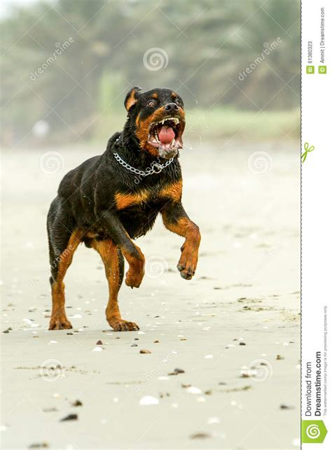 are rottweilers aggressive aggressive rottweiler stock image image of aggressive 61380323