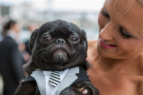 pug in a suit pug richelle jeff dinofa photography south jersey weddings
