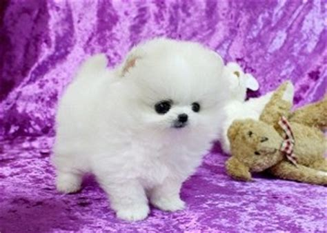 free pomeranian puppies in arkansas pets arkansas free classified ads
