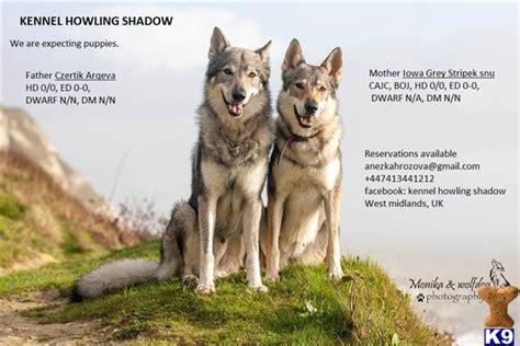 czechoslovakian wolfdog puppies for sale czechoslovakian wolfdog 46612