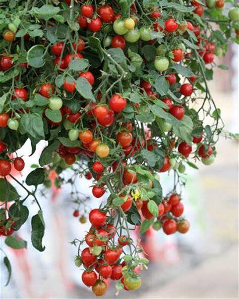 Biji Benih Buah Bonsai Delima Merah Import benih tomat import berbagai jenis fresh nature