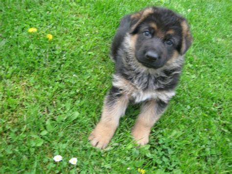 german shepherd names american german shepherd german shepherds by breeds picture