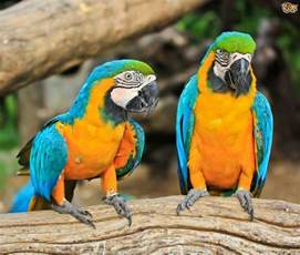 blue and gold macaw pets4homes
