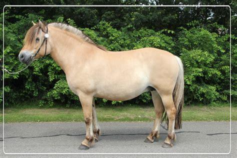 fjorden paard quus nl - Fjord Paard