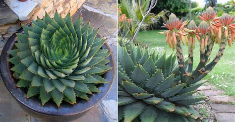 grow  care   spiral aloe world  succulents