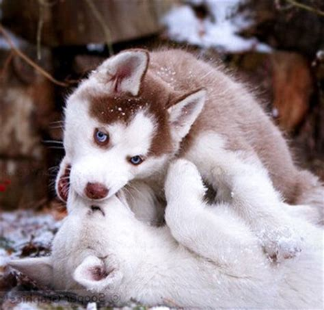 husky puppies for sale in indiana akita puppies for sale in indianapolis