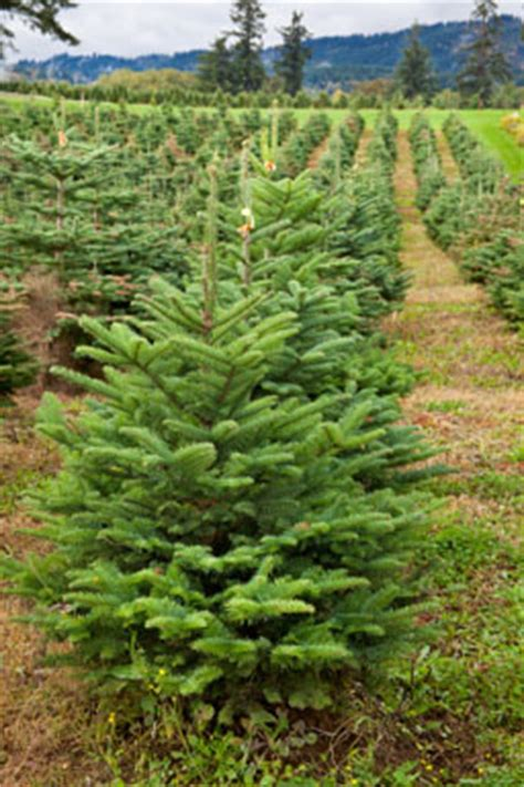 how your real christmas tree is helping fight climate