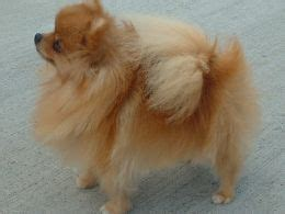 wanted pomeranian puppy pomeranian puppy wanted must be purebred pets4homes