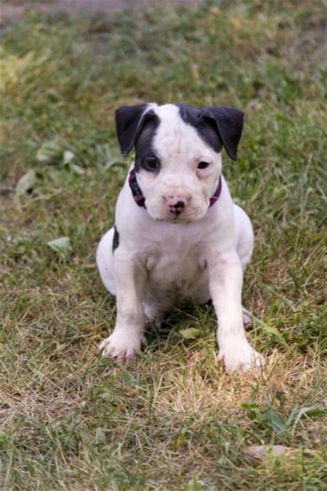 white pitbull puppies puppy dogs black and white pitbull puppies