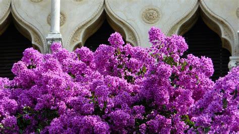 terrazze in fiore viaggivacanze info agave in fiore dalla terrazza di