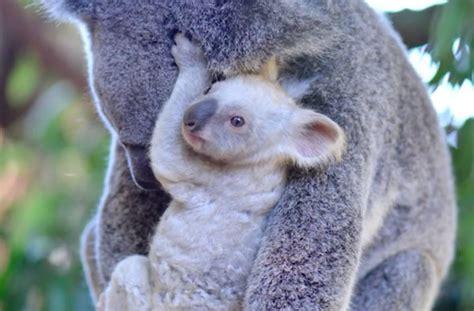 koala hängematte el zool 243 gico de australia ha presentado a este hermoso y