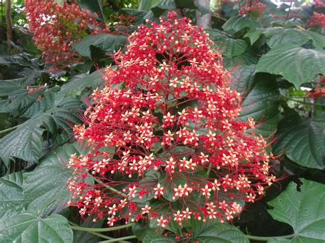 flowering tropical shrubs photos tropical flowers l scapes tracts4free