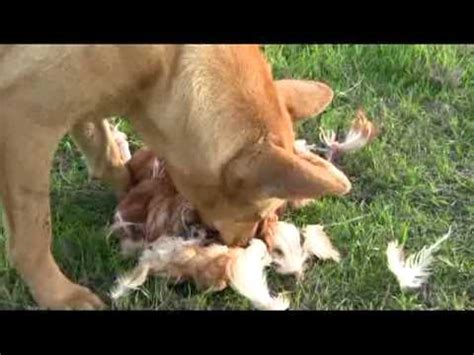 what happens if a eats a chicken bone whole chicken doovi