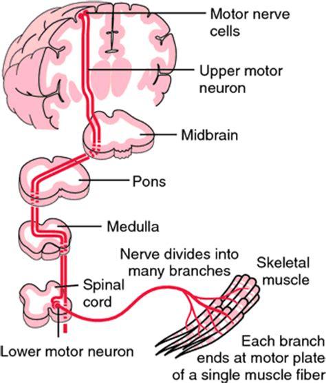 motor neuron definition motor neuron definition of motor neuron by