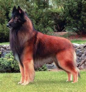 belgian sheepdog club of canada all dog breed information belgian tervuren